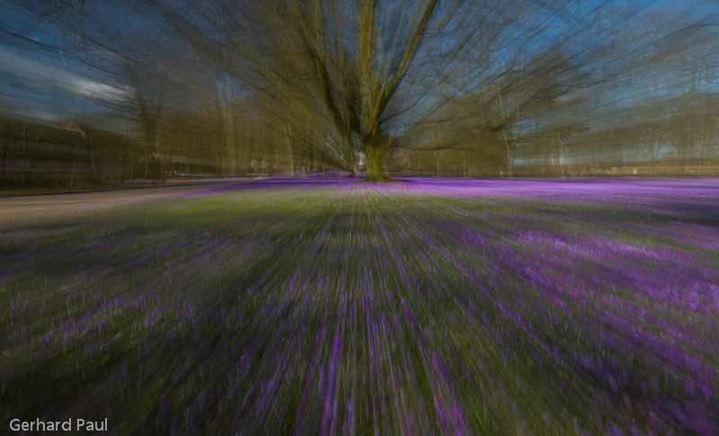 Krokus-Zoom auf Baum