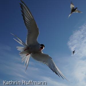 Kathrin Huffmann: Seeschwalben
